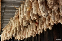 Corn produced is mostly sold on for money